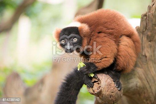 Red ruffed lemur eating lettuce