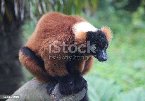 close up of red ruffed lemur