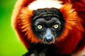 Detail shot of Madagascar Red Ruffed Lemur or Varecia rubra on tree branch against nature in spring time