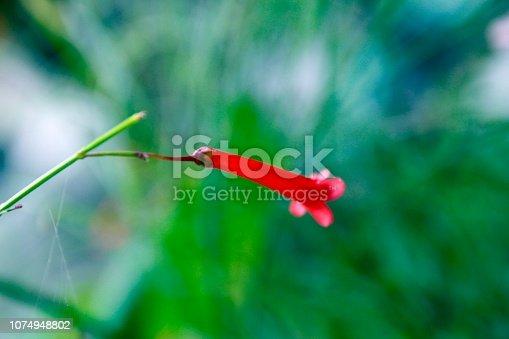 Red Russelia equisetiformis flower,bokeh defocused background