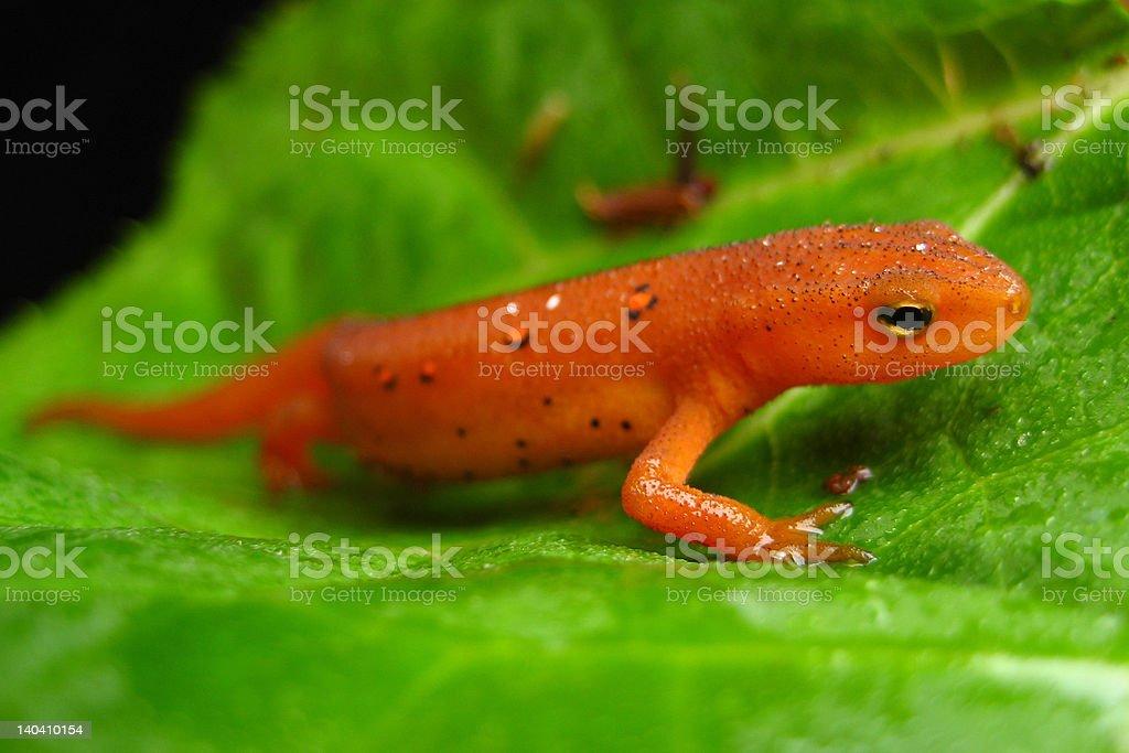 Red Salamander royalty-free stock photo
