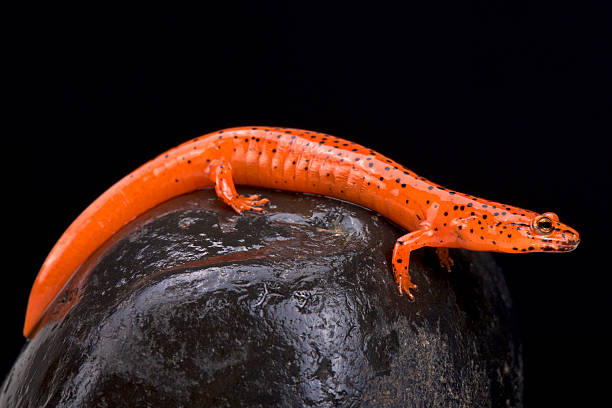 Red salamander (Pseudotriton ruber) - Photo