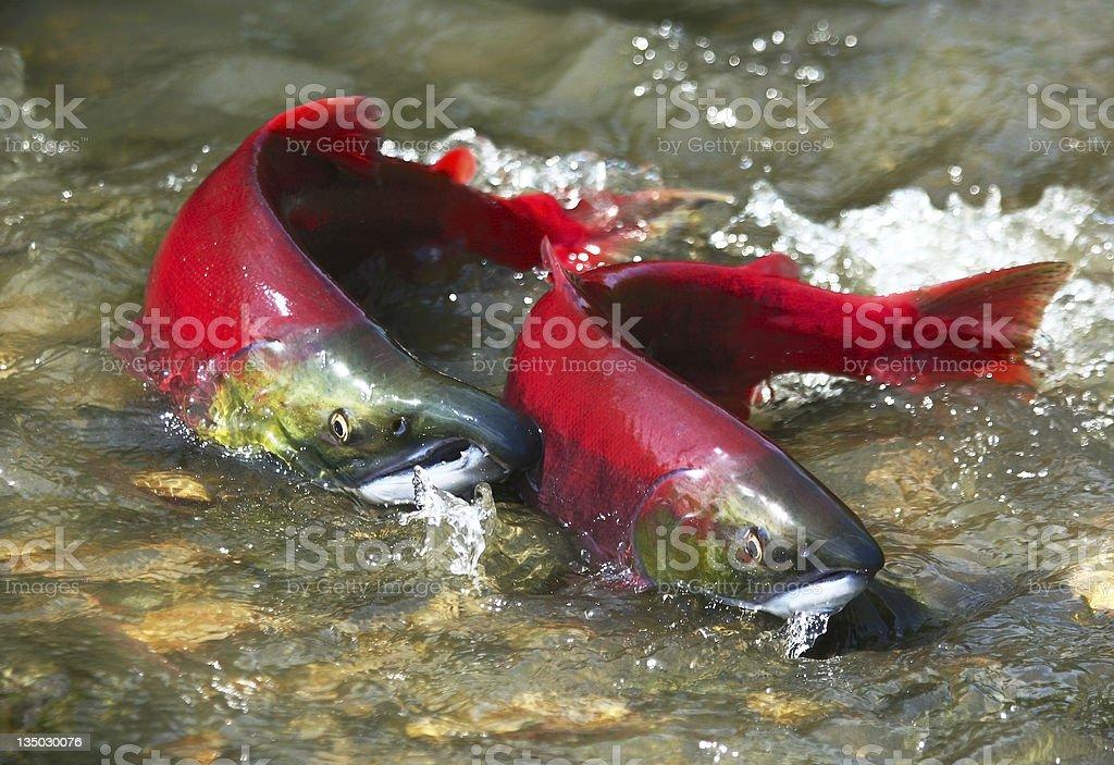 Red salmon couple stock photo