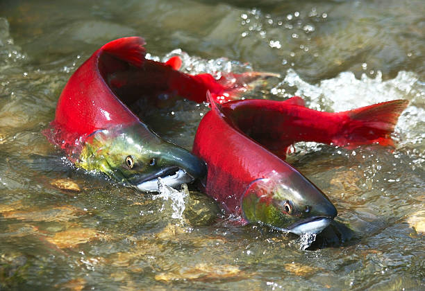 Red salmon couple Wild male and female red salmon in river before spawning in symmetric position. salmonidae stock pictures, royalty-free photos & images