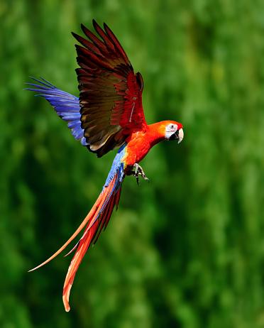 A red scarlet macaw (Ara macao) in flight.