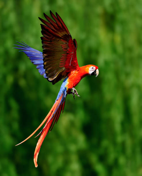 red scarlet macaw in flight stock photo
