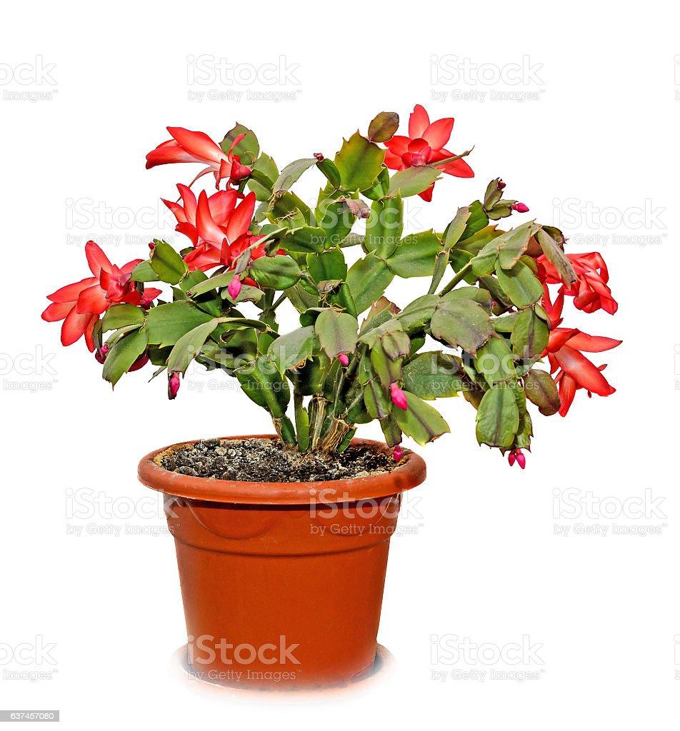 Red Schlumbergera truncata flowers in flowerpot stock photo