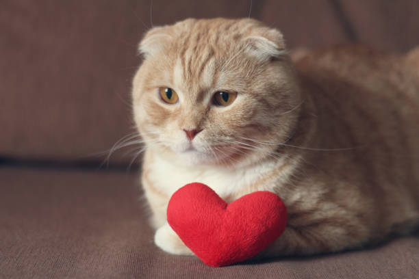 Red scottishfold cat and plush red heart Red scottishfold cat and plush red heart cat valentine stock pictures, royalty-free photos & images