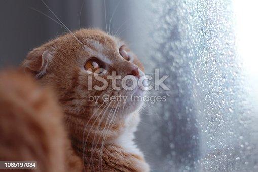 Red scottishfold cat looks on the rain drops on the window glass