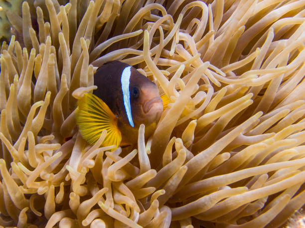 Red Sea Anemonefish (clownfish) hiding in an Anemone - Underwater stock photo