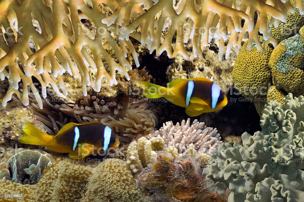 Red Sea Anemonefish (amphiprion bicinctus) stock photo