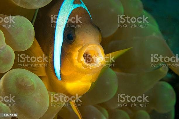 Red Sea Anemonefish Stock Photo - Download Image Now