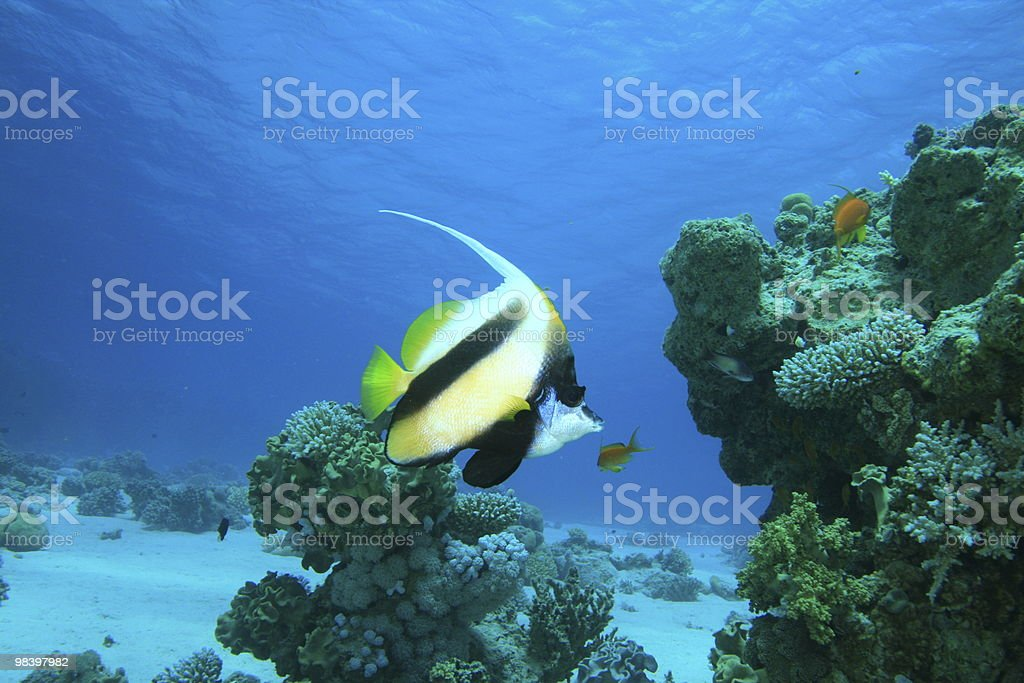 Red Sea Bannerfish royalty-free stock photo