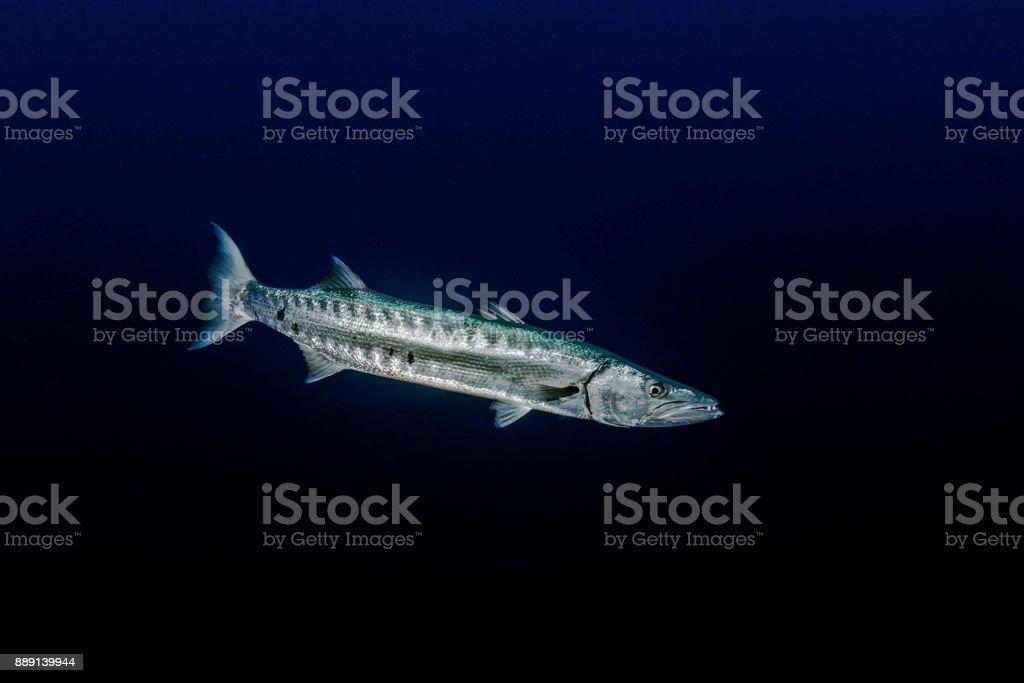 Red sea Baracuda stock photo