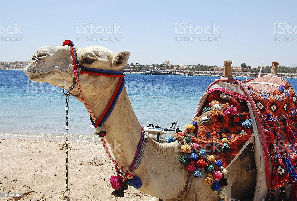 Red sea camel stock photo