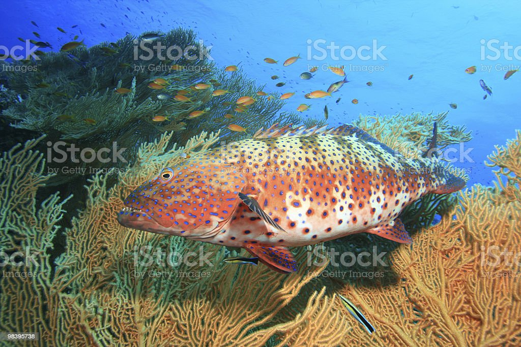 Red Sea Coral Grouper royalty-free stock photo