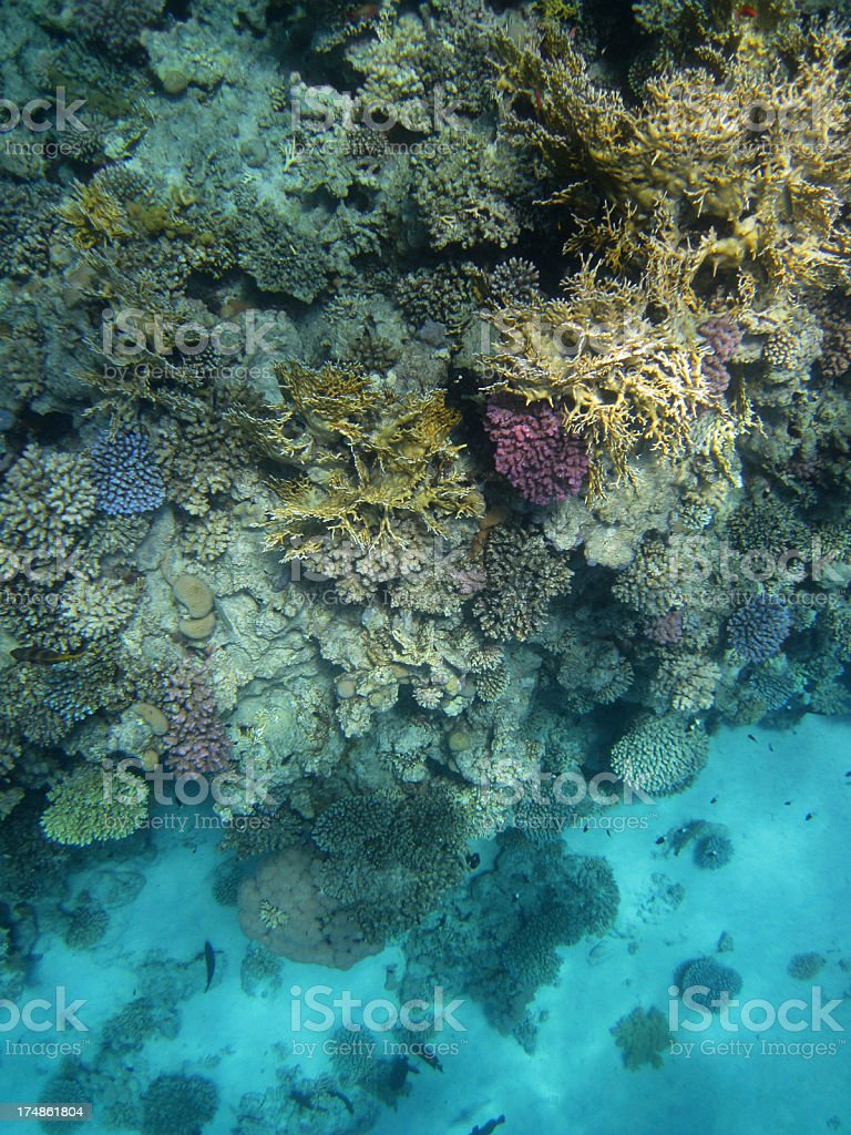 Red Sea coral reef royalty-free stock photo