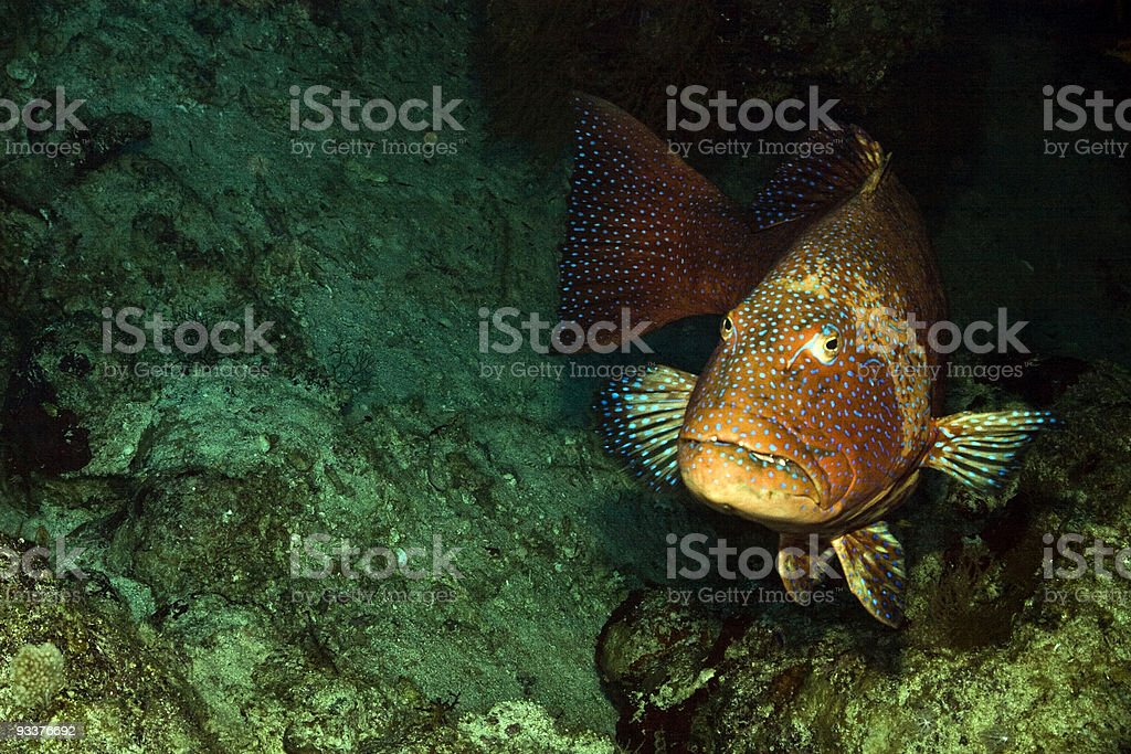 Red sea coralgrouper (Plectropomus pessuliferus) royalty-free stock photo