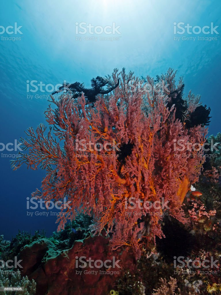 Red sea fan in the tropical reef stock photo