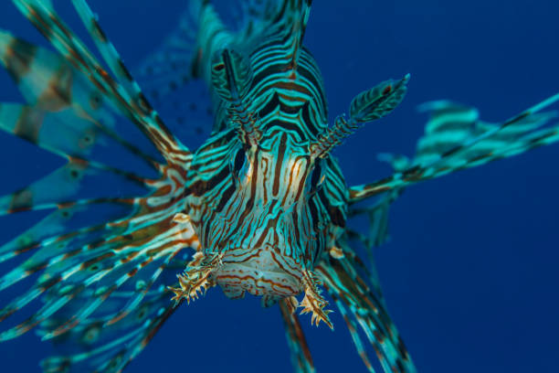red sea lion fish - lionfish stock photos and pictures