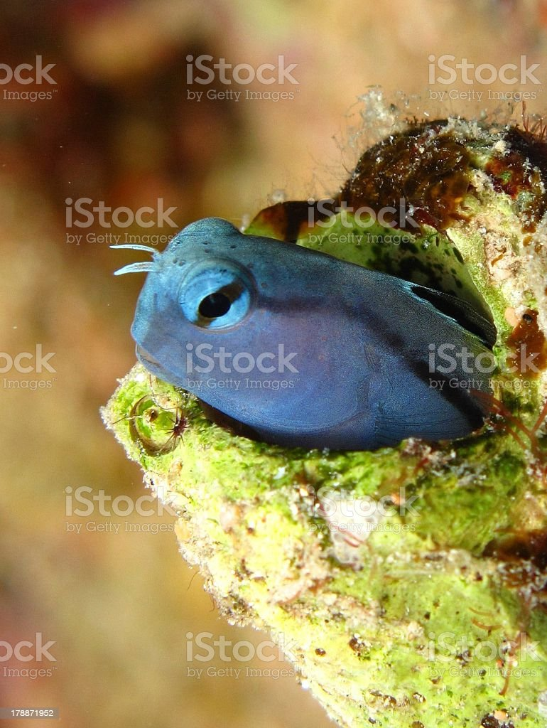 Red Sea Mimic Blenny royalty-free stock photo