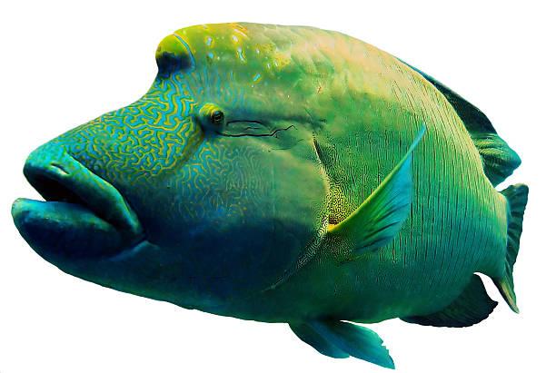 Red Sea Napoleon Fish close up portrait stock photo
