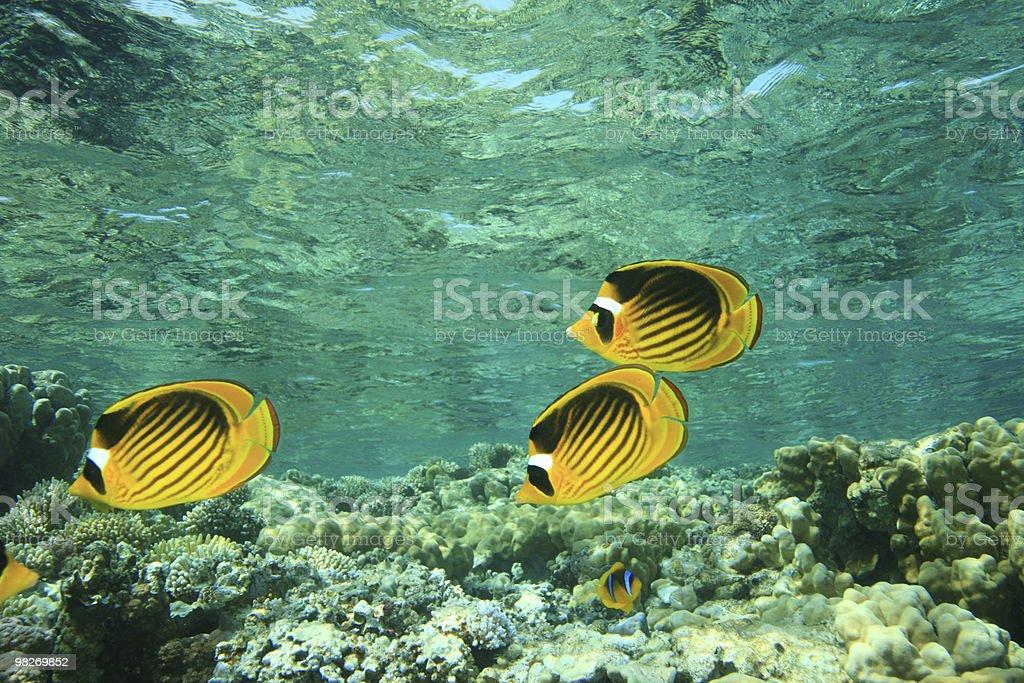 Mar Rosso Pesce farfalla procione foto stock royalty-free