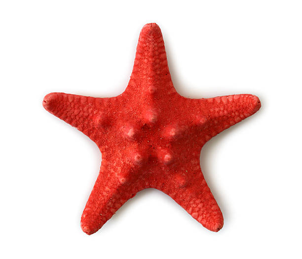 Red sea star stock photo