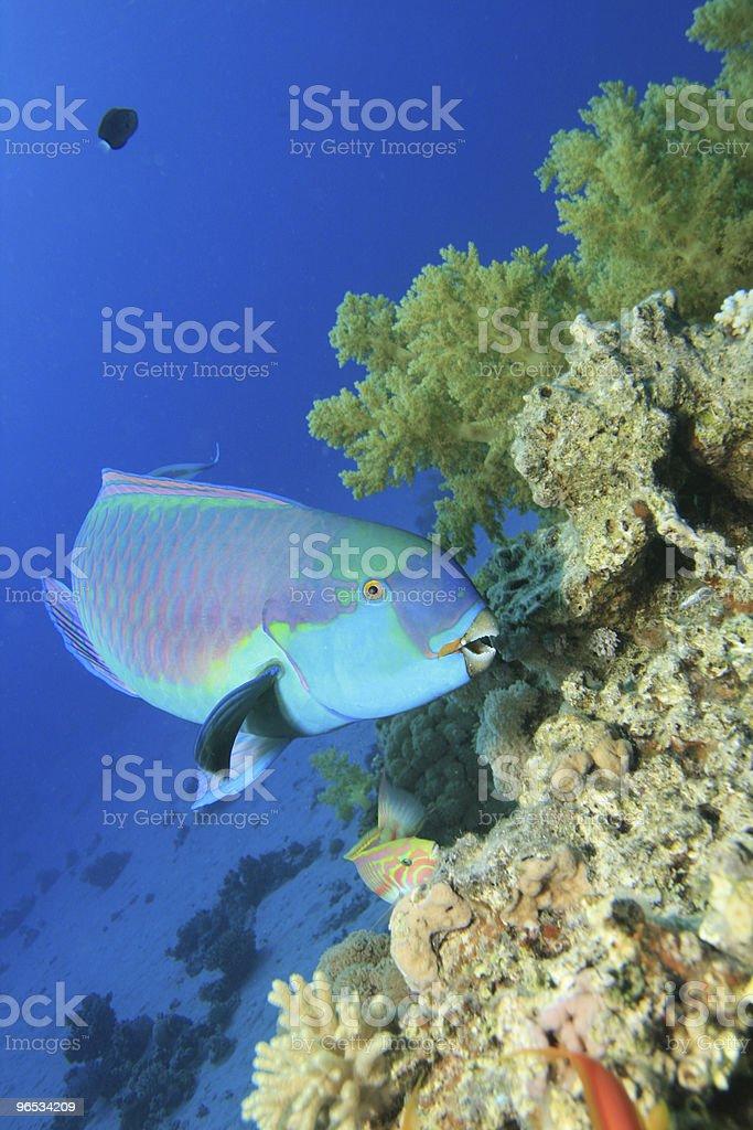 Morze Czerwone Steephead Parrotfish zbiór zdjęć royalty-free