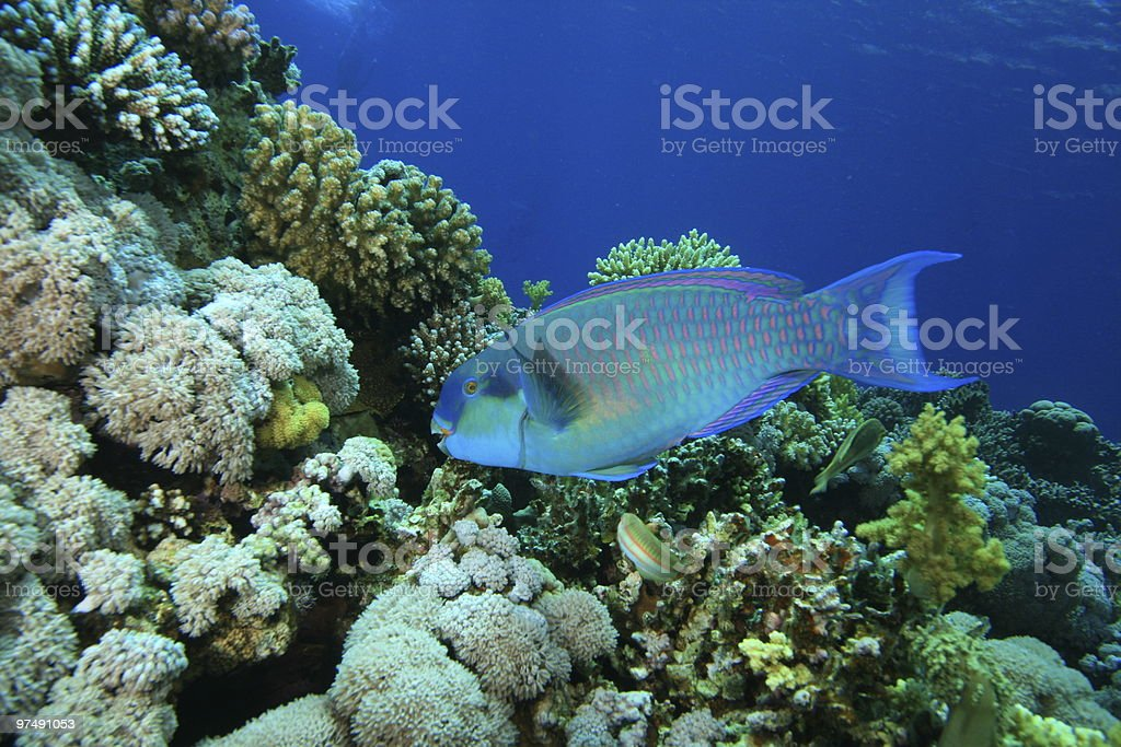 Red Sea Steephead Parrotfish royalty-free stock photo