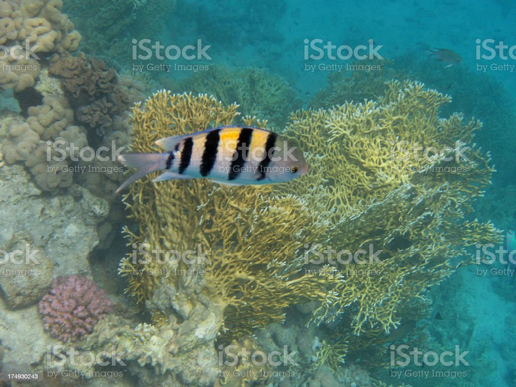 Red Sea underwater royalty-free stock photo