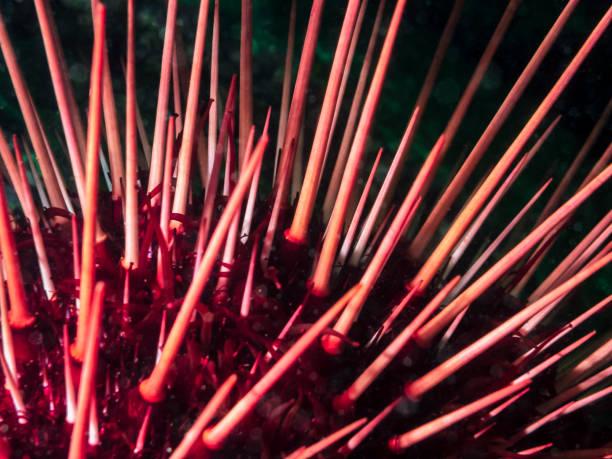Red Sea Urchin (Strongylocentrotus franciscanus) stock photo