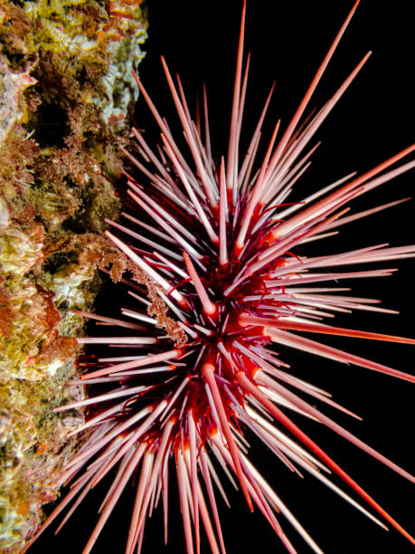 red sea urchin (mesocentrotus franciscanus) - naturediver stock pictures, royalty-free photos & images