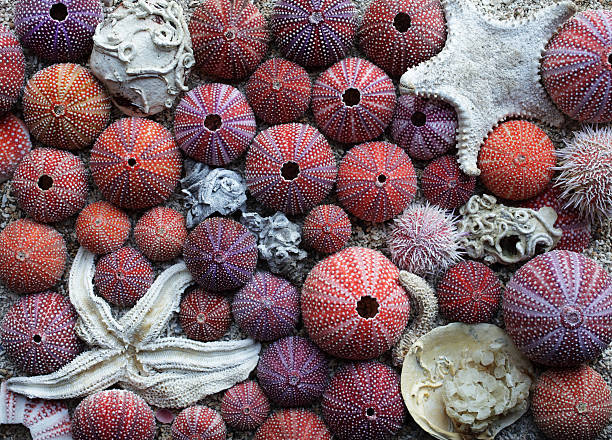 Red sea urchins stock photo