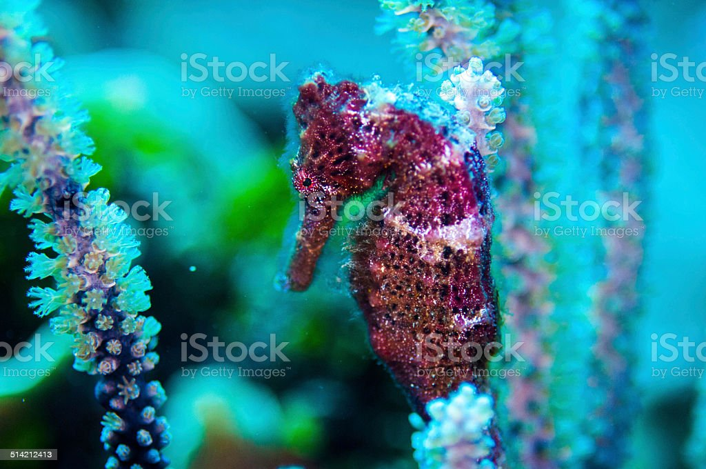 Red seahorse stock photo