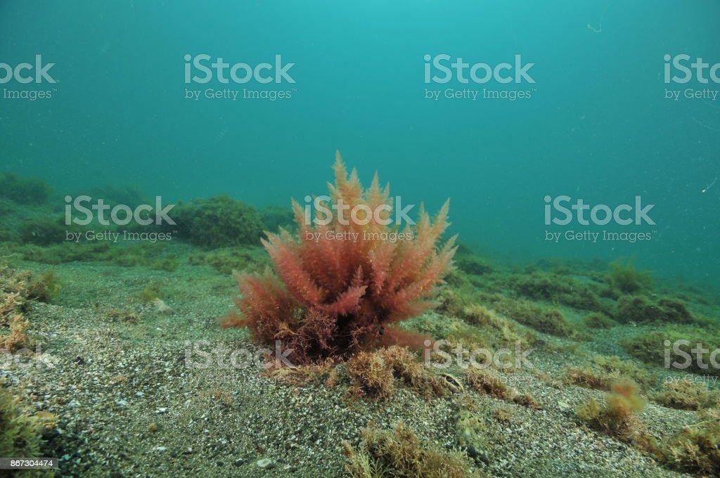 Bush de alga roja - foto de stock