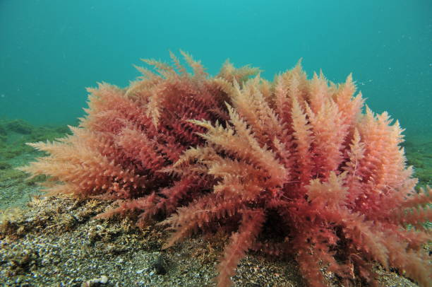 Image result for red algae