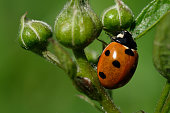 A red seven-dot ladybug enlarged on a stalk against a green background. Spring. Wild animals. Poland.