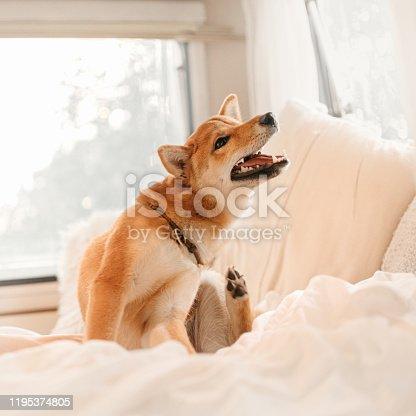 shiba inu dog itching on a bed inside the house