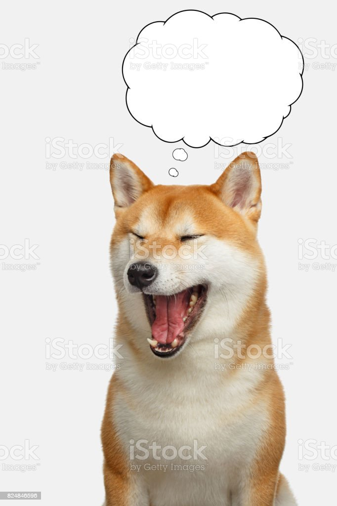 Red Shiba inu Dog on Isolated White Background stock photo