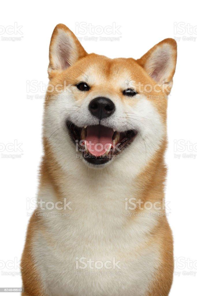 Vermelho Shiba inu cachorro em isolado fundo branco foto royalty-free
