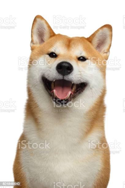 Red shiba inu dog on isolated white background picture id824846640?b=1&k=6&m=824846640&s=612x612&h=sxcehgkxve2sm2noosqakzdxco0dzcmycwznzyoshmo=
