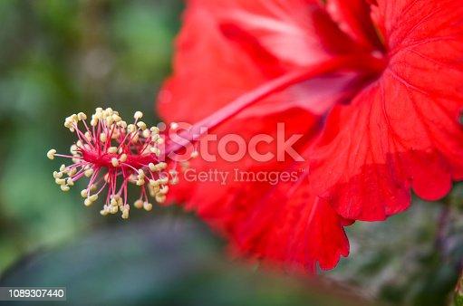 istock Red Shoe Flower. 1089307440