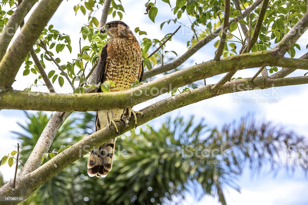 Red Shoulder Hawk (Buteo lineatus) royalty-free stock photo