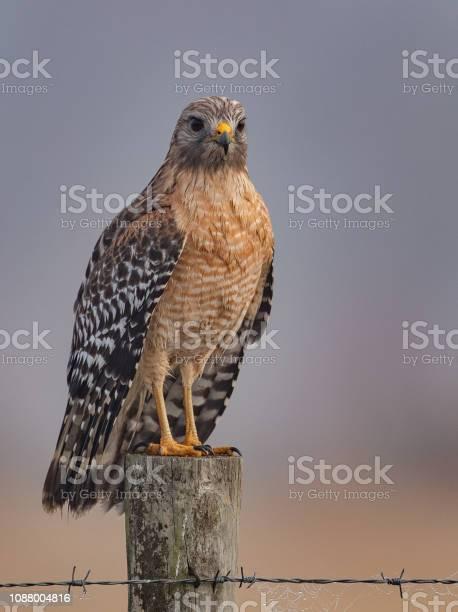 Red shouldered hawk in Florida