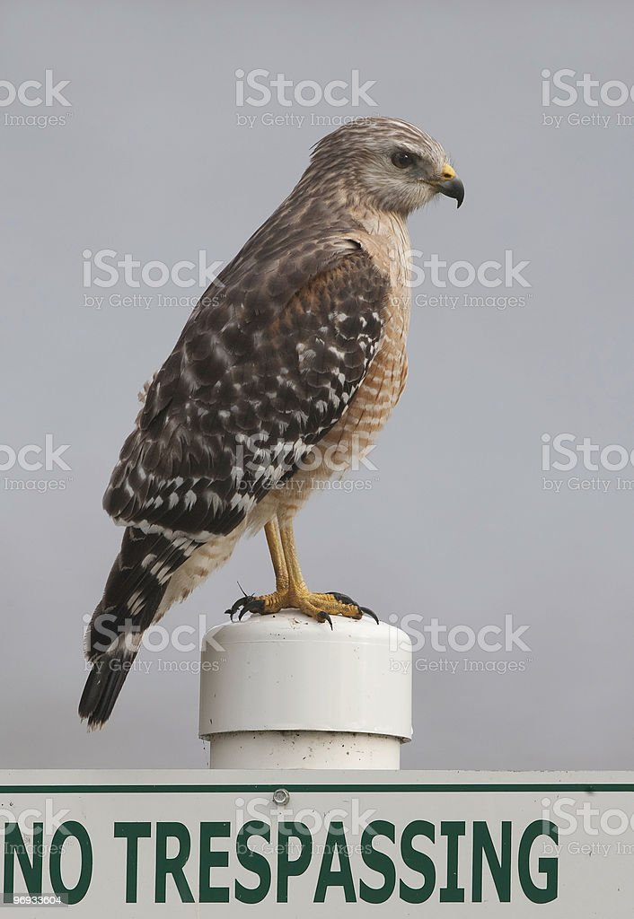 Red Shouldered Hawk perching on a sign royalty-free stock photo