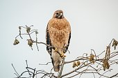 A picture of a Red Shouldered Hawk in a tree
