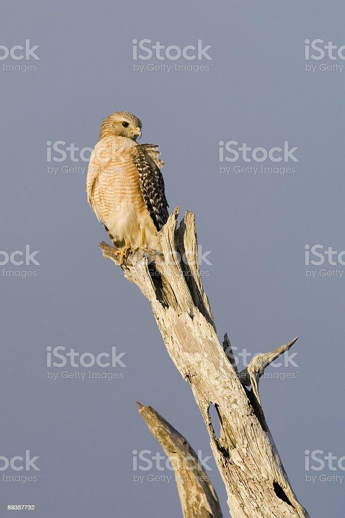 red shouldered hawk royaltyfri bildbanksbilder