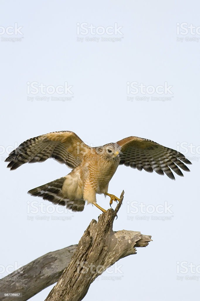 red shouldered hawk taking off from perch royalty-free stock photo