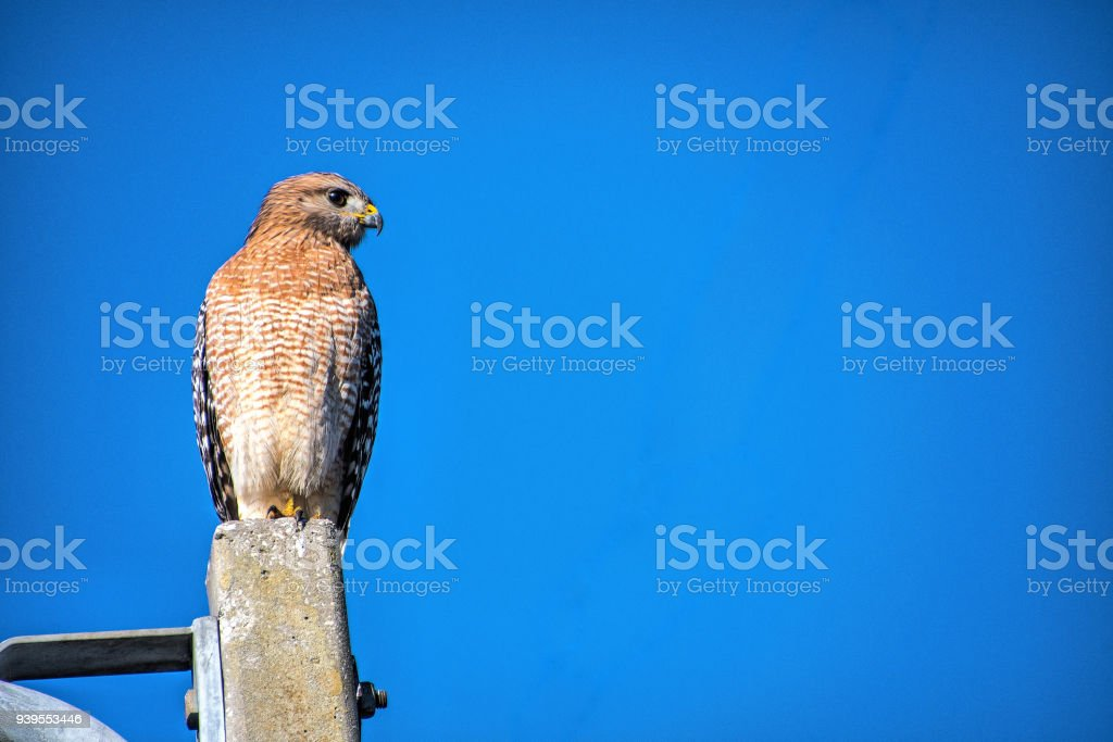 Red Shouldered hawk with sky stock photo